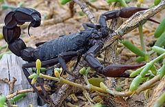 240px-Black scorpion