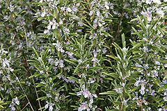 240px-Rosemary bush