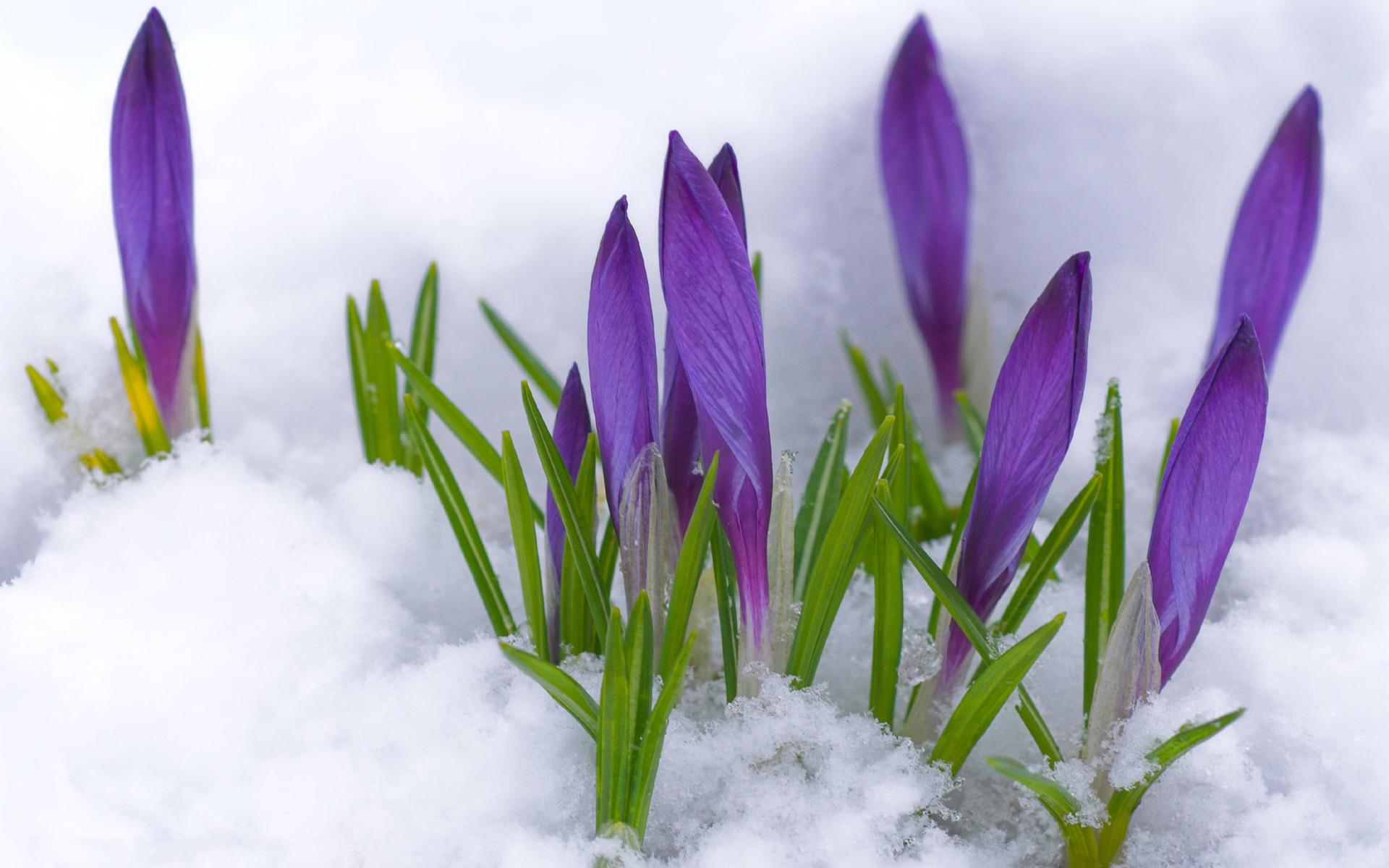 sinie-krokusi-pod-snegom 1920x1200